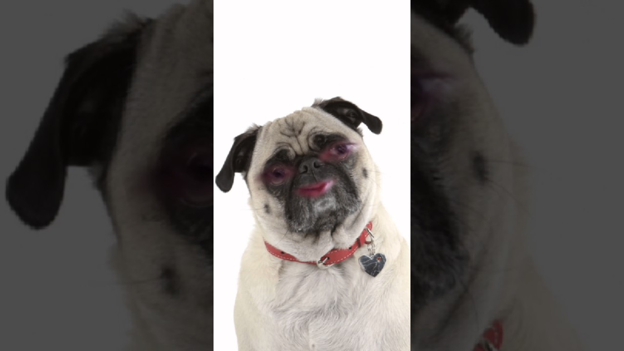 snapchat pug filter snapchat pug filter in 720p hd w mralanc youtube 3635