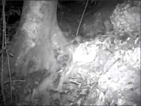 First wild solenodon film