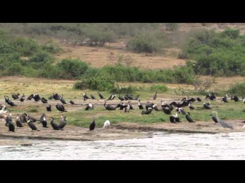 Vogelkolonie op de grens van Kazinga Channel en Lake Edward