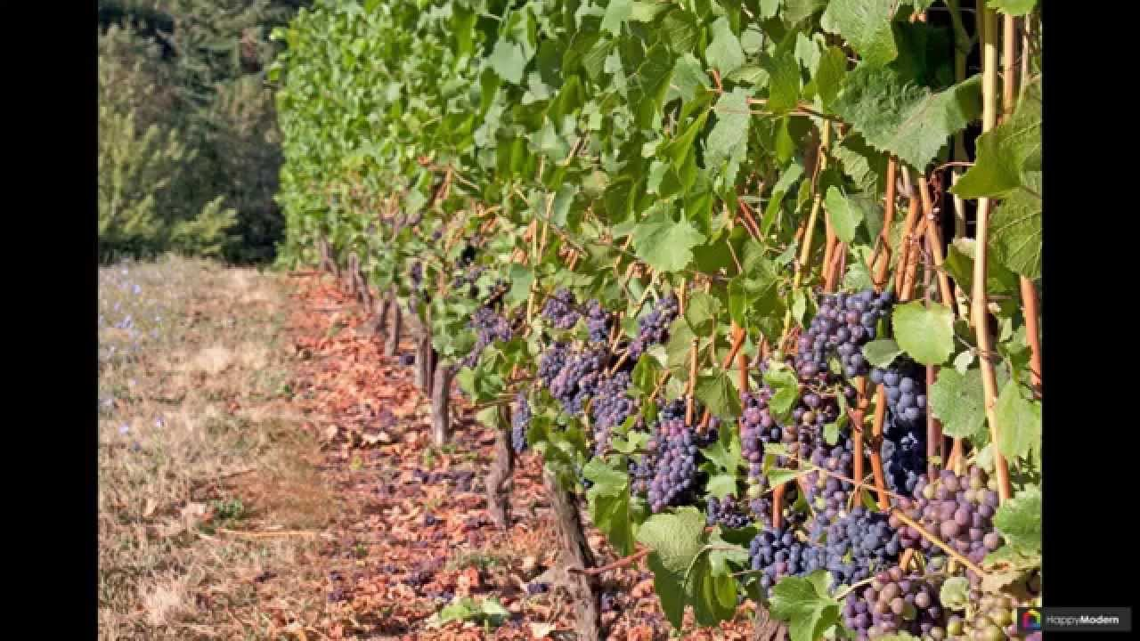 Однополосная шпалера для винограда своими руками одно