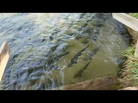 Platte river weir coho salmon 9-16-17