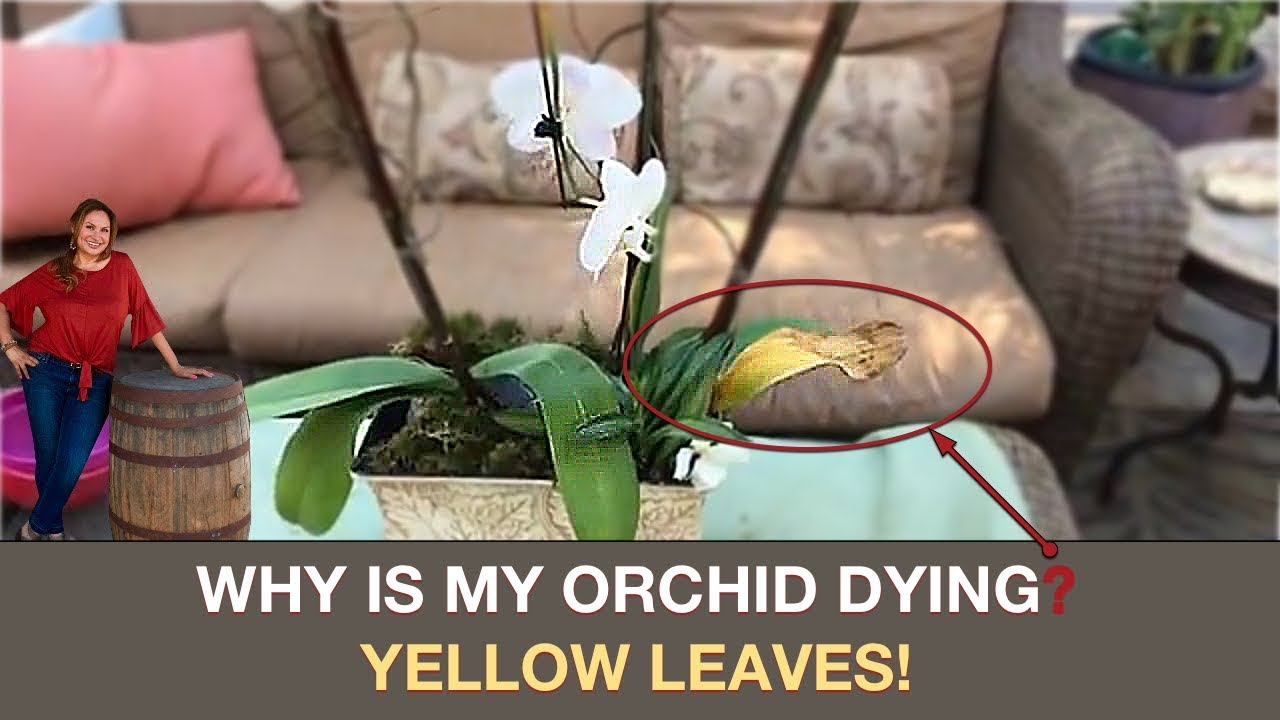 Orchid Care Why Is My Orchid Dying Yellow Leaves Shirley