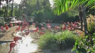 Birds - San Diego Zoo - Flamingos (1920 x 1080HD)