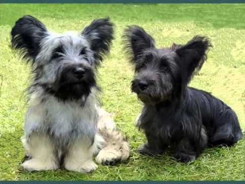 Cute Dogs Picture Ideas Of Puppy Terrier Skye