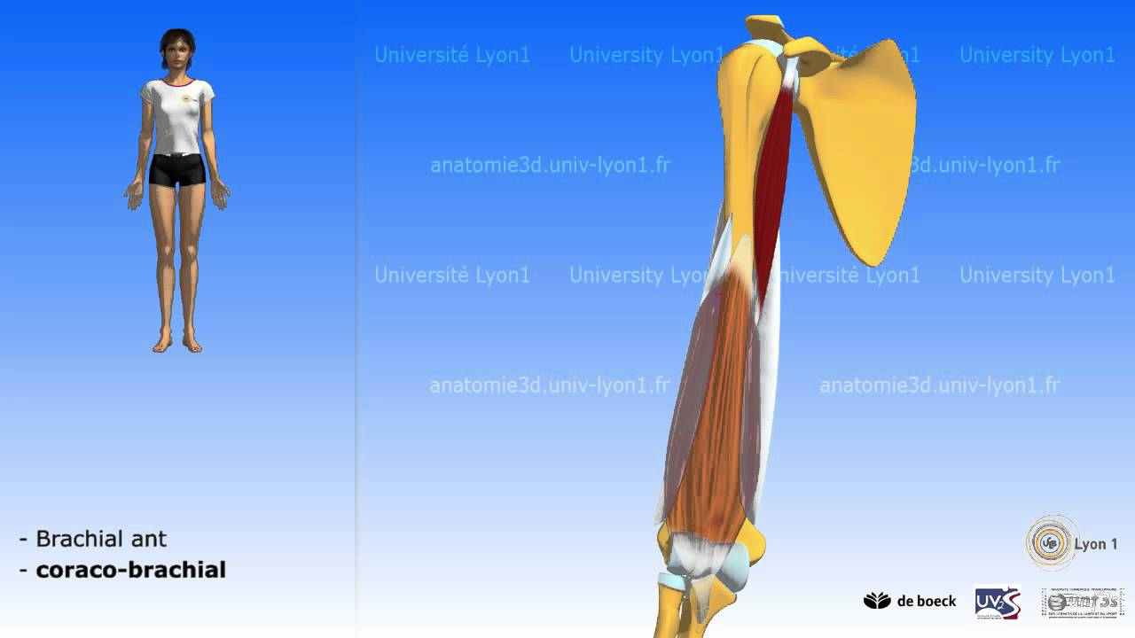 Les loges musculaires du bras - YouTube fff36879469