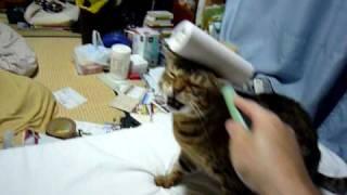 うちのぬんです。 コロコロ大好きなめずらしい猫です。