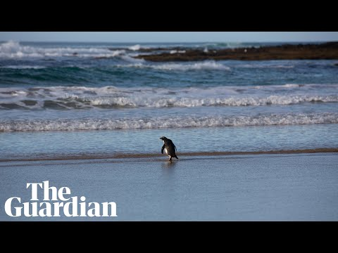 Tiny penguin from New Zealand released back into wild after washing up on beach in Australia