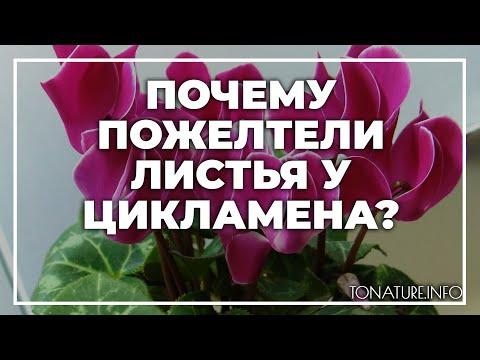 Почему пожелтели листья у цикламена? | toNature.Info