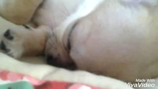 спящая чихуахуа