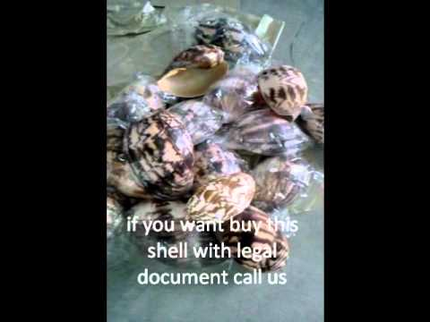 melo shell from bali for  sale to export with legal document