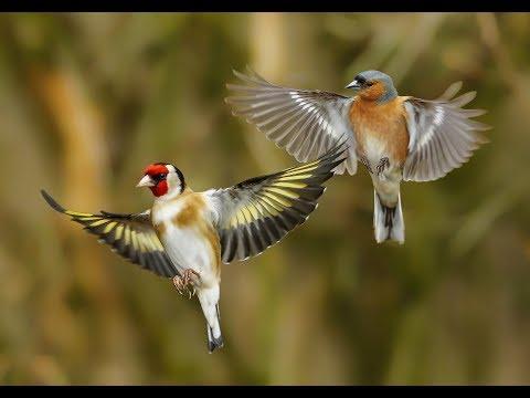 Ловля певчих птиц золотая осень