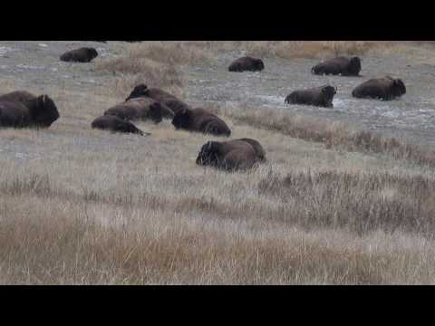 Bison herd In Yellowstone laying down