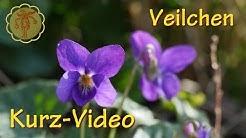 Heilpflanze: Veilchen - Kurz-Video