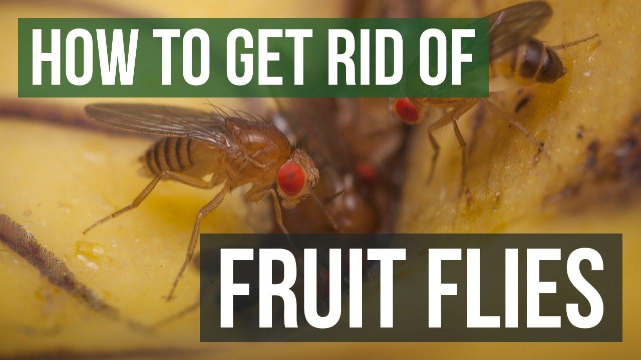 How to Get Rid of Fruit Flies (3 Simple Steps)