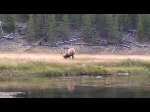 Elk spotting in Yellowstone National Park