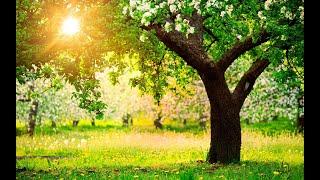 Онлайн для начинающих: обрезка старого дерева яблони весной  /// Омолаживающая обрезка