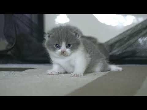 Британские котята в возрасте 3 недели (Litter-S2)