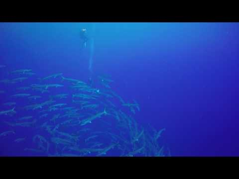 Michael's trip to Palau 2014 -  Barracudas