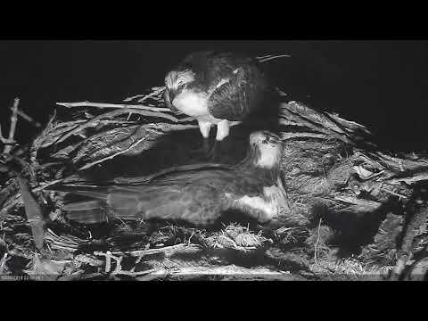2018 05 20 Dad visits - Boulder County Osprey Cam