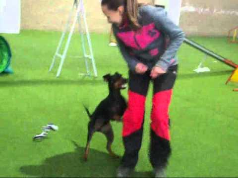 Manchester terrier 'Derry'  training with Aneta Grygarova