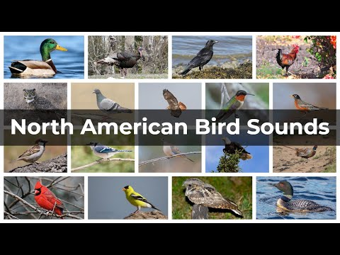 North American Bird Sounds | Compilation
