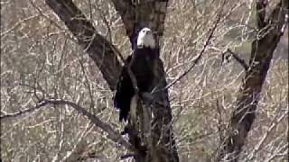 Bald Eagle in Colorado