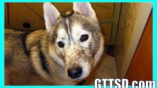 Siberian Husky Bath Muddy Bad Dog *snow Dog Short 38*