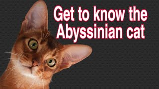 Abyssinian cat | Abyssinian cat breed