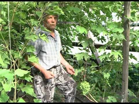 Как посадить виноград в Сибири