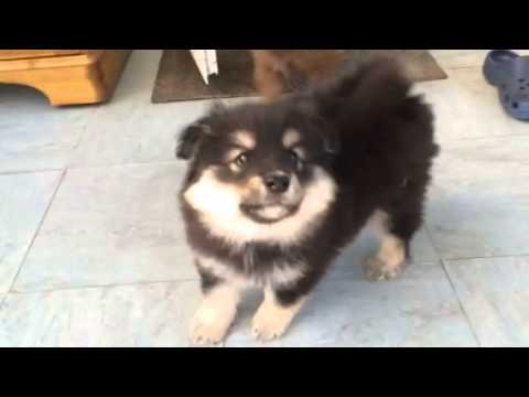 Finnish Lapphund Puppies Meeting My Cat Delphi