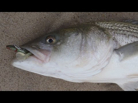 Striped Bass Fishing with Soft Plastics - Tsunami Sandeel Lures Part1