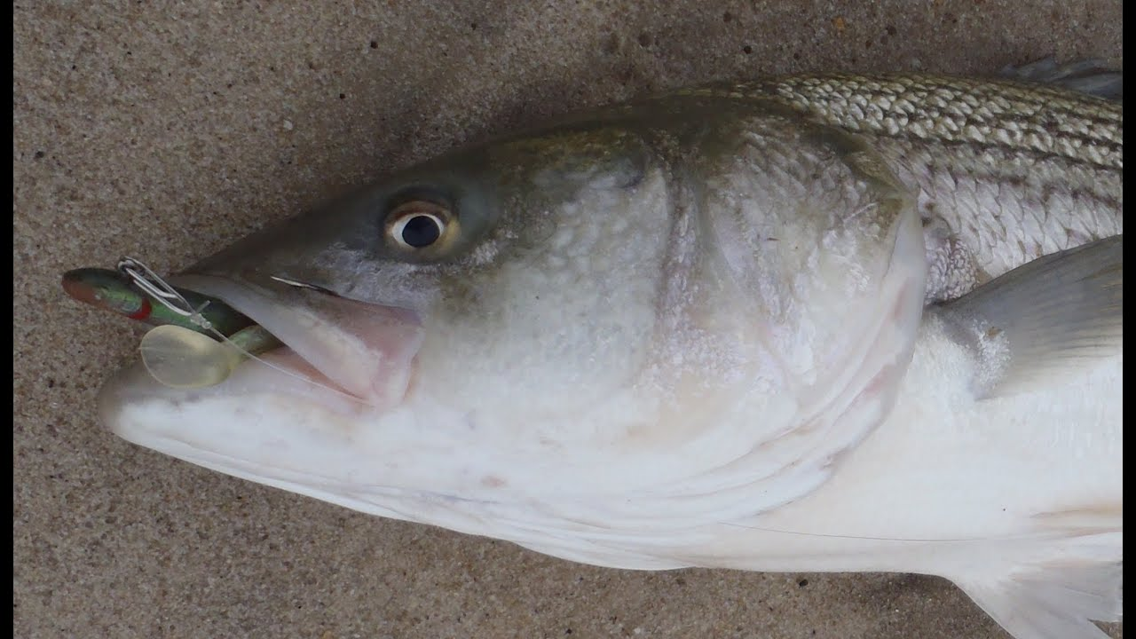 Striped bass fishing with soft plastics tsunami sandeel for Striper fishing bait