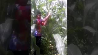 Keajaiban jagung yang mustahil terjadi