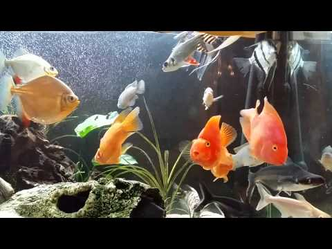 Red Parrot Fish Tank Mates