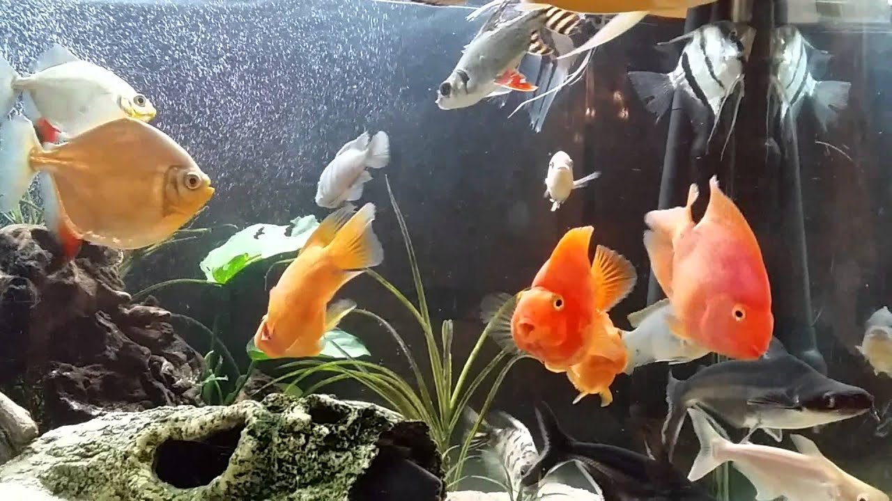 Black and yellow freshwater aquarium fish - Black And Yellow Freshwater Aquarium Fish