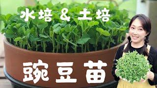 【芽苗菜】2种方法种植豌豆苗----土培和水培,13天就采收   2 wąys to grow pea shoots at home --Soil culture and Hydroponics