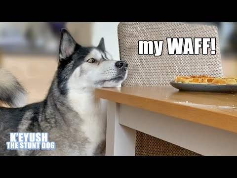 Husky Won't Stop TALKING Until He Gets His Waffles! Demanding Dog!