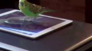 Волнистый попугай учится говорить
