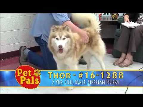 Meet Thor a Siberian Husky currently available for adoption at Petango.com! 10/6/2015 9:32:05 PM