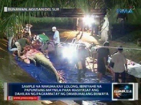 Saksi: Sample Ng Labi Ni Lolong, Ibiniyahe Na Sa Maynila Matapos Ang Kanyang Necropsy