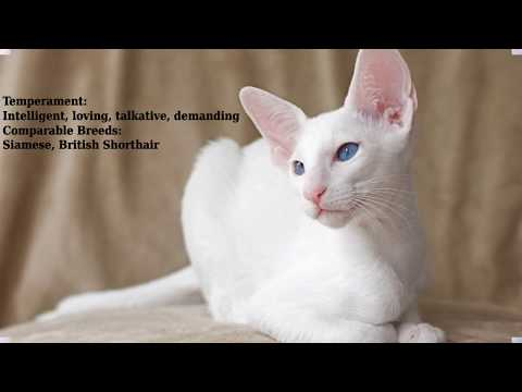 Foreign White - cat breed