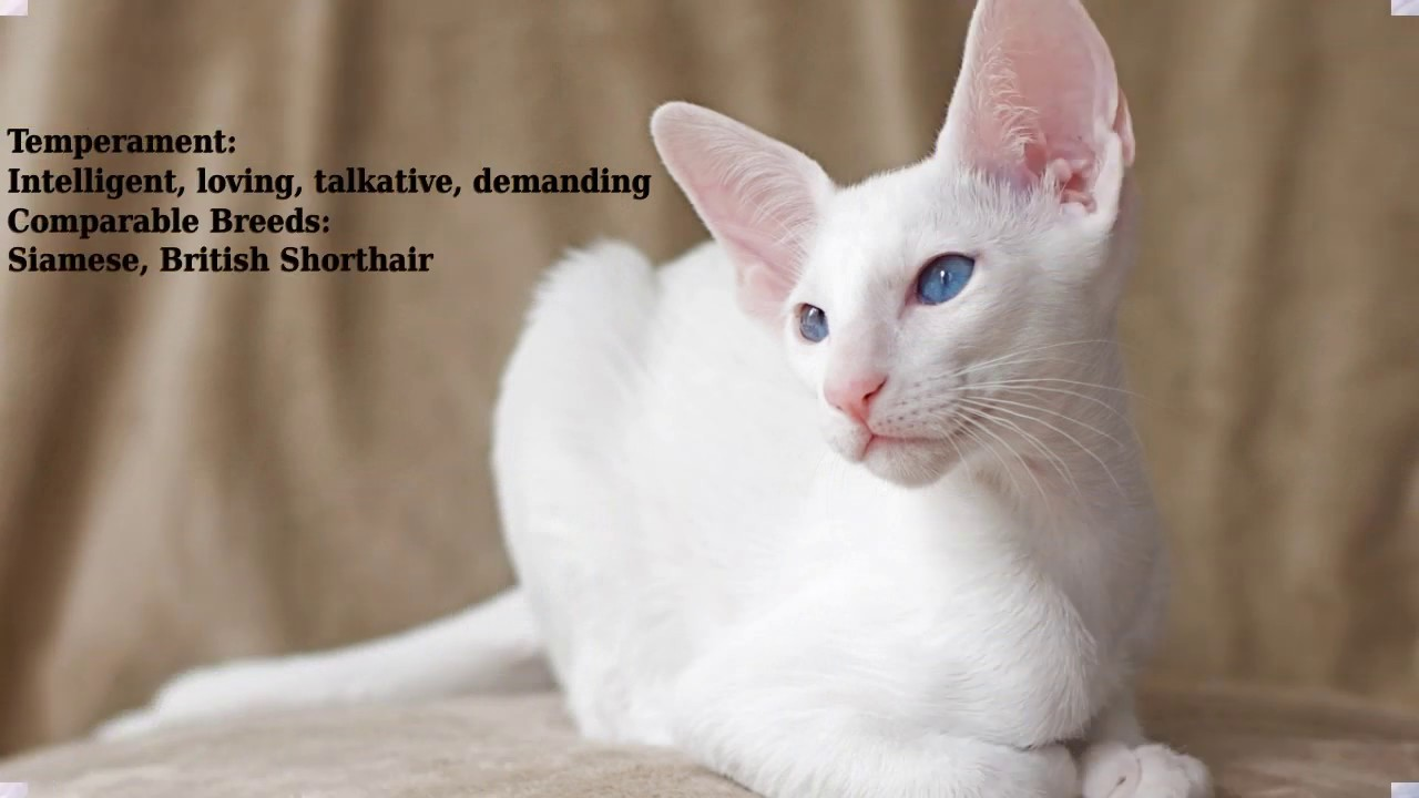 Foreign White Cat Breed Youtube