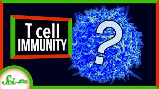 What Do We Know About T Cells and COVID-19 Immunity? | SciShow News