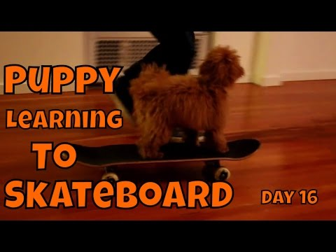 Puppy Learning To Skateboard: Day 16 - Learning to Skateboard VOL. 12