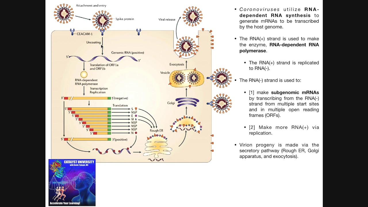 The Coronavirus Replication Cycle