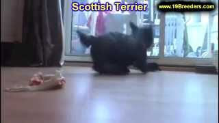 Scottish Terrier,, Puppies, For, Sale, In, Rio Rancho, New Mexico, County, Nm, Sandoval, San Juan, M
