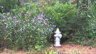 Plant **Blue Katie Mexican Petunia** Perennial  + Ruellia brittoniana