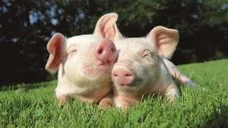 Facts About Pigs That'll Make Bacon Less Tasty
