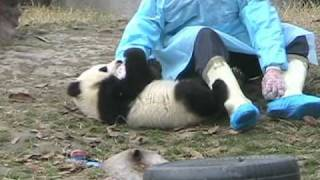 Giant Panda Kindergarten - young Panda at play