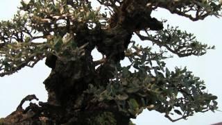 (HD155) Trophée des 4 frontières - Olea oleaster | Bruno BELTRAME